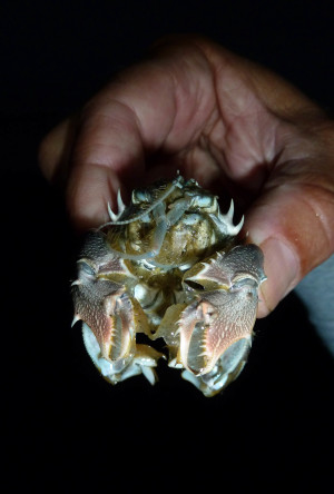 Spiny Mole Crab