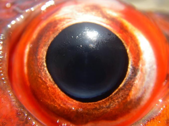 Red Eye!