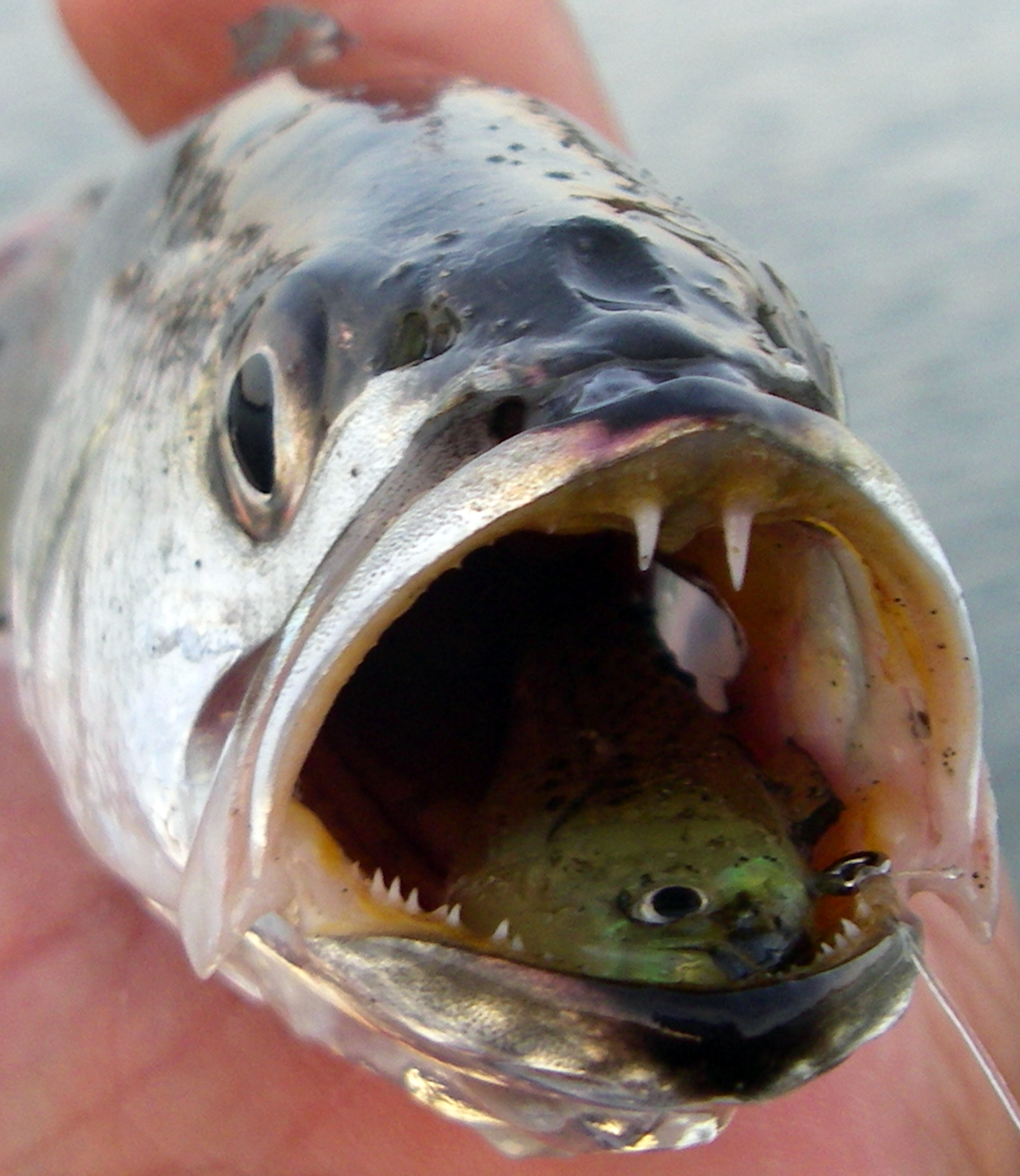 Grunion run fishing southern california for Best white fish to eat