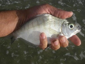 Walleye Surfperch